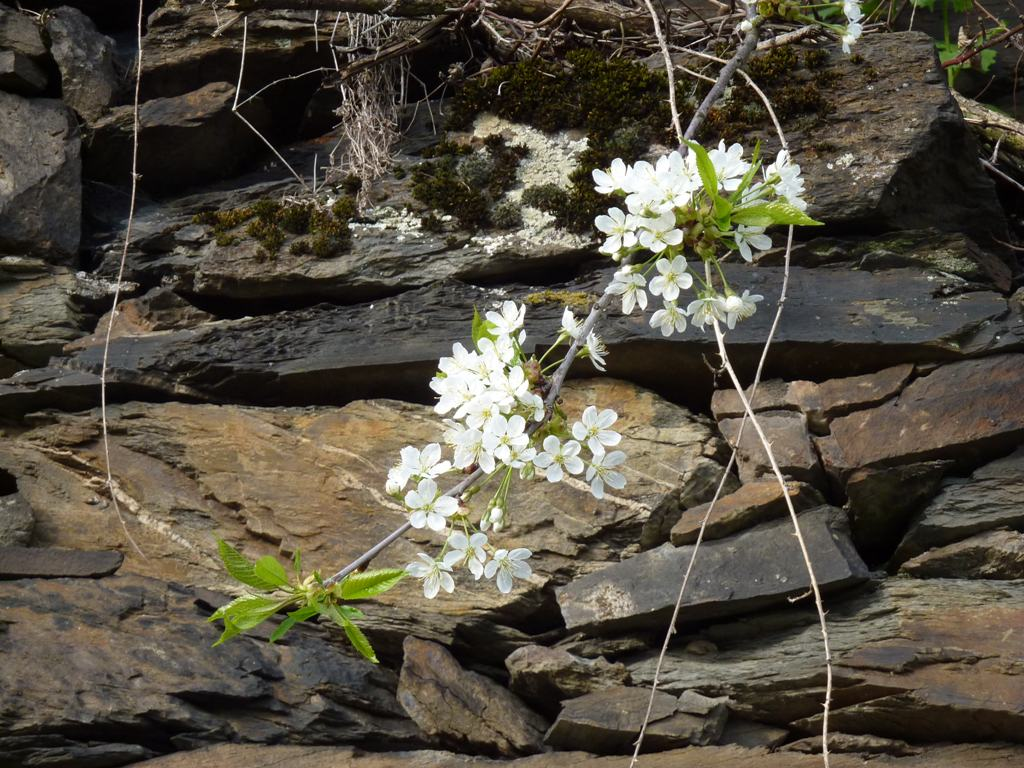 Kirschblüte vor Schiefermauer